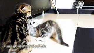 Kittens Fight Club   Part 2   Funny Cats