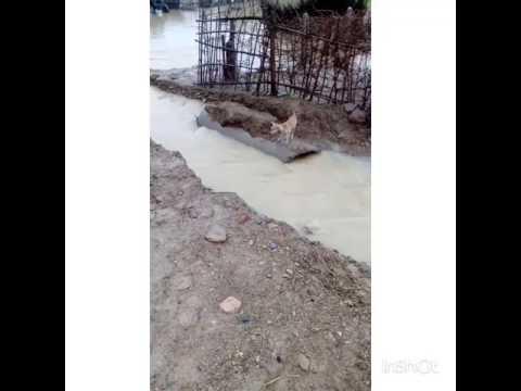 awara kutta / brave dog jumping canal