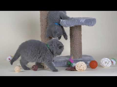 British kittens - Melanie and Maximus