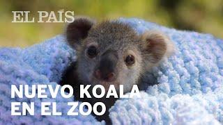 Una cría de KOALA es separada de su madre en un zoo de AUSTRALIA