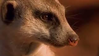 Детям о животных   Большеухие лисицы  Познавательный фильм