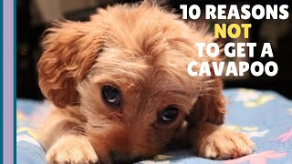 10 Reasons NOT to Get a Cavapoo Puppy  | What You Need to Know