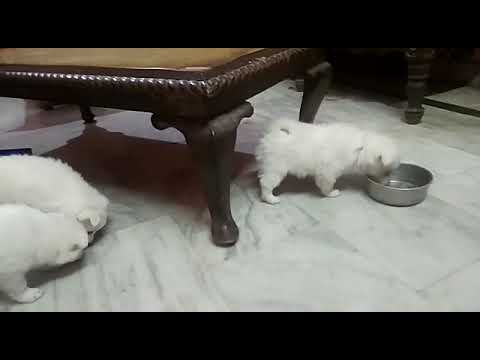 Pomeranian Spitz puppies available to sale 7048966925