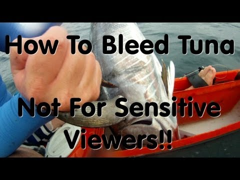How to Bleed Tuna - Not for sensitive viewers!!