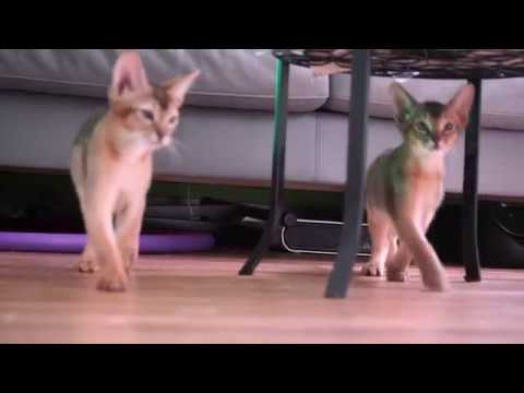 Abyssinian Kittens 3 Month old Playing