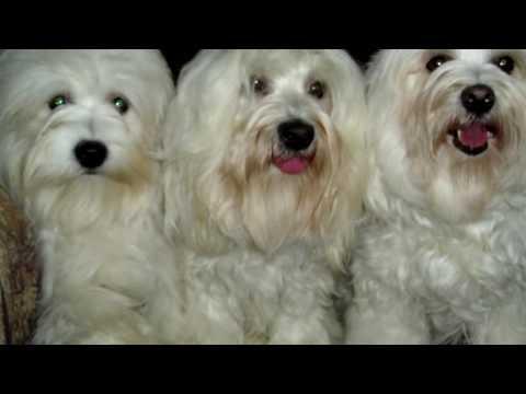 Порода собак. Котон де Тулеар. Милая и пушистая порода собак. Впервые появилась на Мадагаскаре