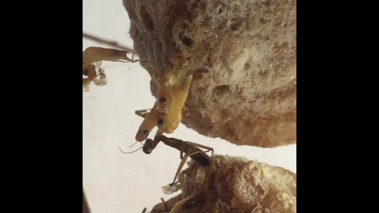 Praying Mantis Hatching Youtube