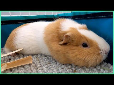 cute-guinea-pig-naps-2