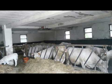Kühe im Stall mitten bei der Paarung (Cows in the stable in the middle of the mating)