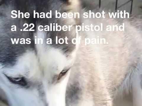 Angel the Siberian Husky pup with gunshot wounds