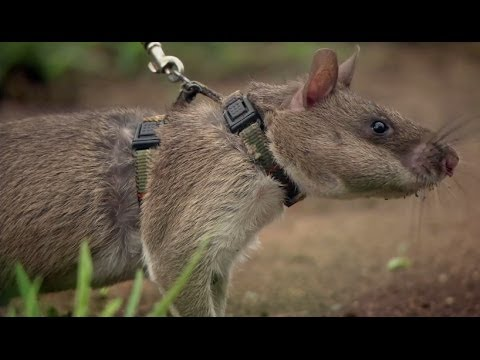 Rats Save Humans From Landmines - Extraordinary Animals - Series 2 - Earth