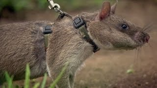 Rats Save Humans From Landmines - Extraordinary Animals - Series 2 - Earth thumbnail