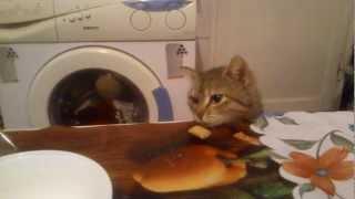hungry cat / голодная кошка