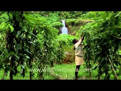 Vanilla Plantation in Kerala