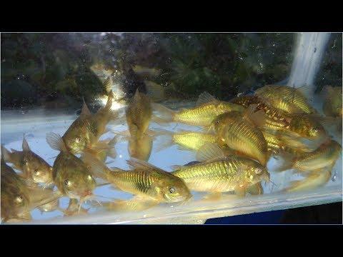 Recolectando apistogramma corydoras y otros peces for Peces ornamentales