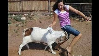 Funny Videos of animals. GOAT HITTING man funny ..