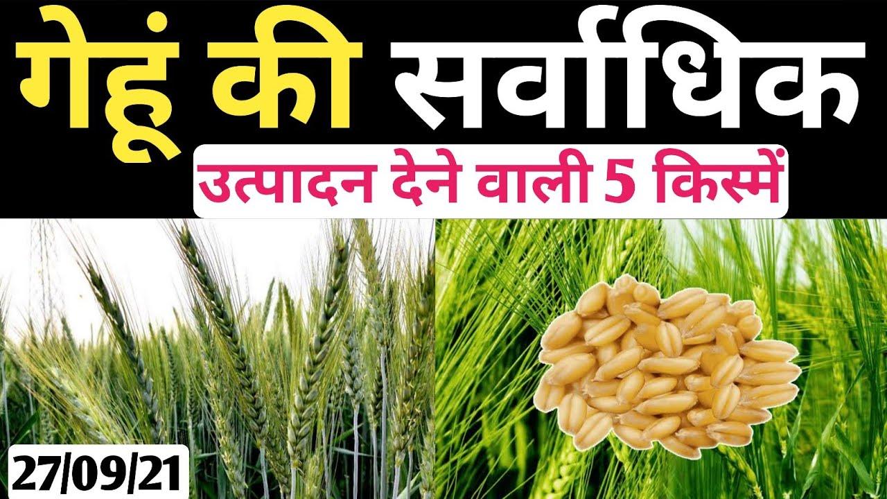 2021 में गेहूं की 5 उन्नत किस्में/गेहूं की टॉप 5 वैरायटी/Wheat Best Variety in 2021/Wheat best Seeds
