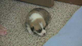 Pembroke Welsh Corgi Puppy - Orion