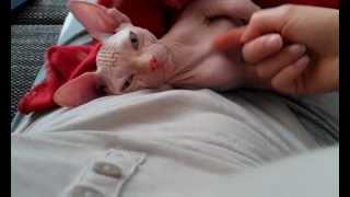 Cuddle up with my baby sphynx