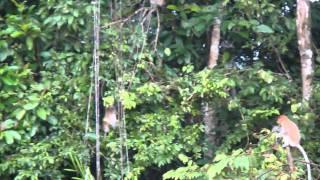 ボルネオ(マレーシア)のテングザル Proboscis Monkey.
