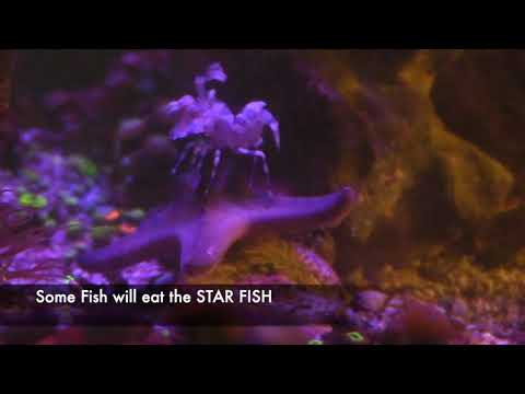 HARLEQUIN SHRIMP VS CHOCOLATE CHIP STAR FISH