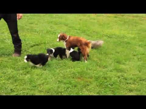 Miniature Australian Shepherd Puppies For Sale David Glick