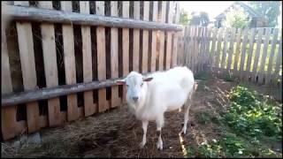 Зааненские козы,муж подарил на день рождения)!!!😉🙌