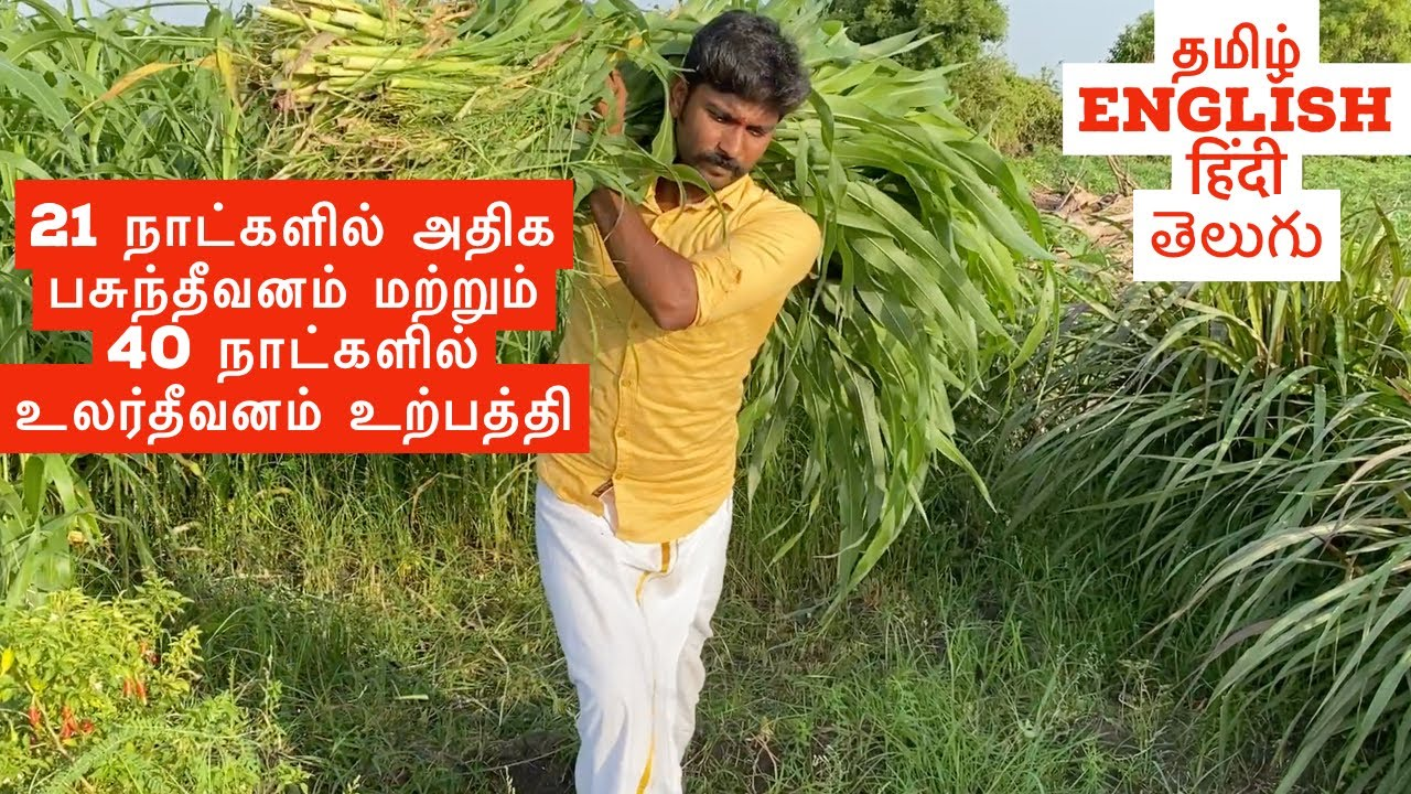 21 days Produce green and dry fodder   Sudan Sorghum Grass   Sudan Sorghum Fodder