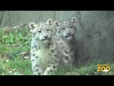 Snow Leopard Cubs Make Public Debut