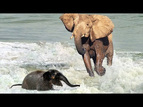 MOTHER ELEPHANT TRY TO RESCUE CALF ENTRAINED WHILE CROSSING THE RIVER | Discovery Animal Planet