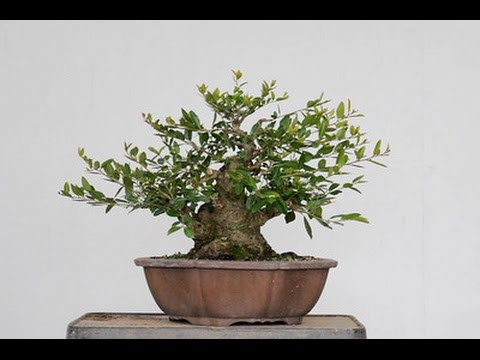 Caring for the japanese holly bonsai tree youtube for Holly tree bonsai