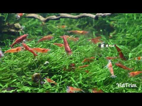 Krevetky - krmení