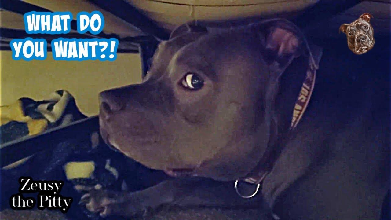 Talking Pitbull Tells Dad Off In His Hiding Spot!! Hilarious!!