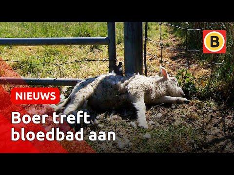 Schokkende beelden: Boer treft bloedbad aan in zijn weiland | Omroep Brabant