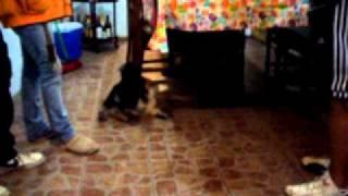 Golden Retriever Vs Schnauzer Cachorros Puppies