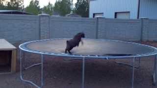 最初はみんな若葉マークだから。トランポリンで見せた子ヤギのジャンプ練習風景