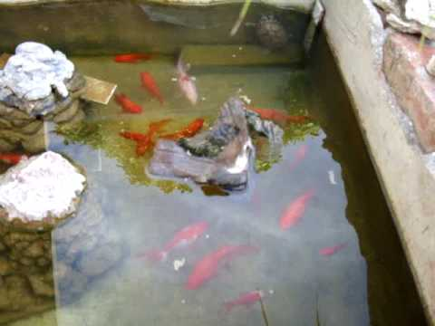 Mi estanque de peces y tortugas youtube for Peces para limpiar estanques