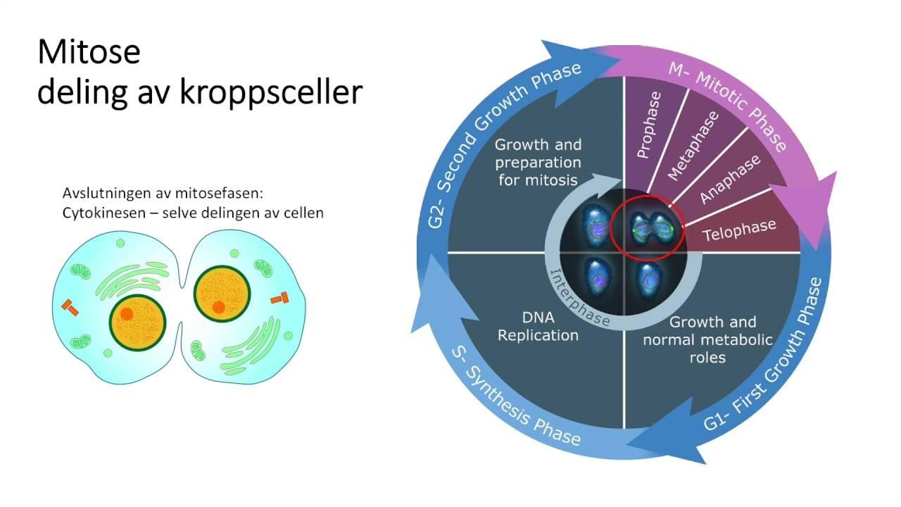 Celler: Celledeling del1
