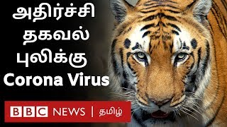 Corona Virus: Tiger affected in Bronx Zoo - What happened?