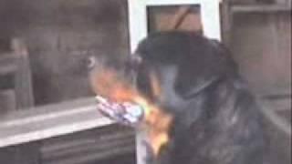 Rottweiler Vs Gato