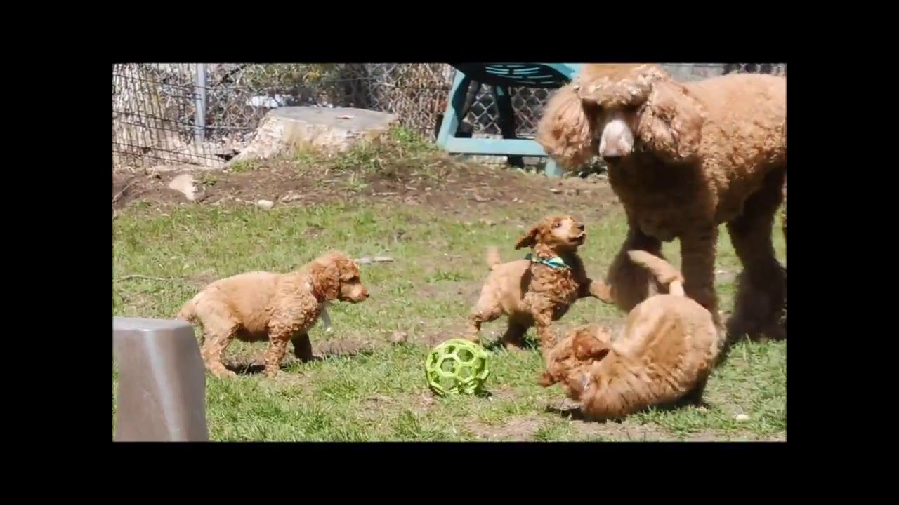 Red Standard Poodle Puppies Having Fun In The Backyard Youtube