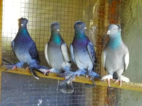 Армянские БОЙНЫЕ ГОЛУБИ в полете! Armenian Pigeons IN Flight!