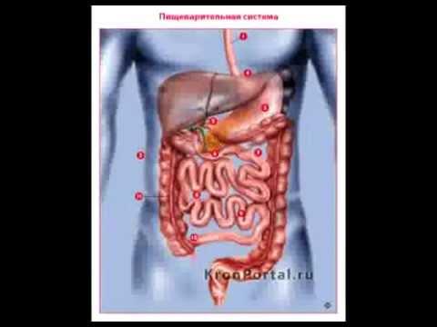 Расположение внутренних органов человека.