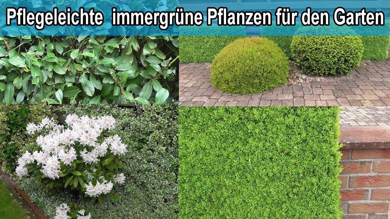 Immergrune Hecken Pflanzen Fur Den Garten Winterharte Grune
