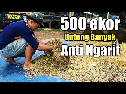 Pembuatan Pakan Untuk 500  Ekor Domba Tanpa Ngarit