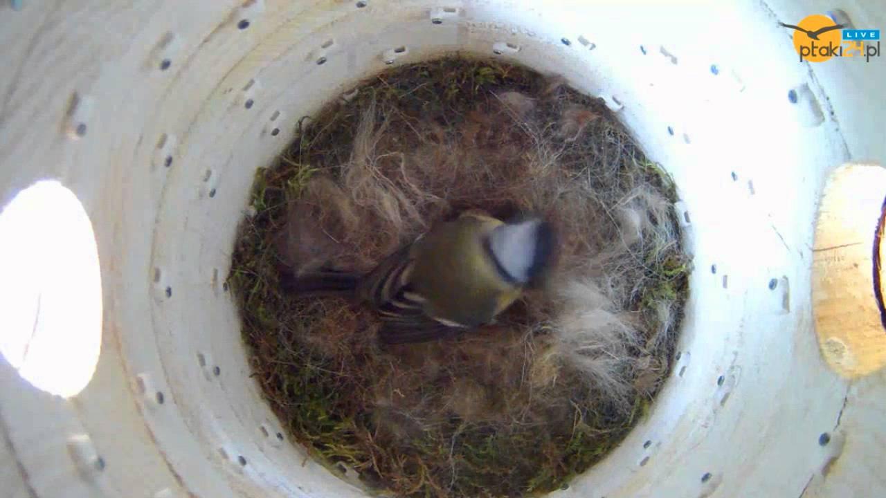 Sikorka bogatka zniosła 11 jajko w budce #02 w ogrodzie