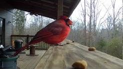 Cardinal steals dog's food