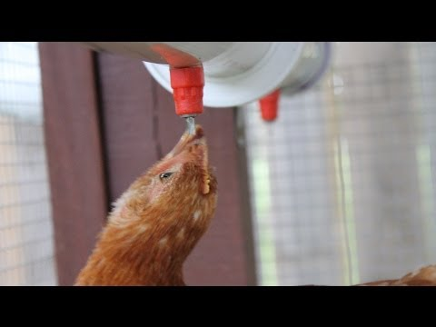 Automatic Chicken Watering System - No Cleaning Water dispensers!