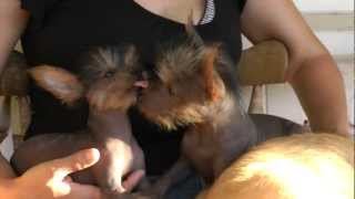 Kissing Hairless Dogs ~ Puppies ~ Yorkie Xolo Mix