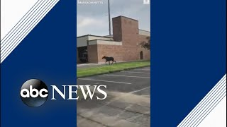 Moose spotted running through Massachusetts town